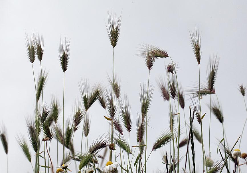 Ähren -  - Gräser - grasses