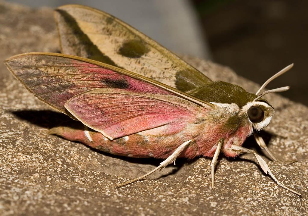 Hyles  euphorbiae -  Wolfsmilchschwärmer -  - Sphingidae - Schwärmer - hawk moths