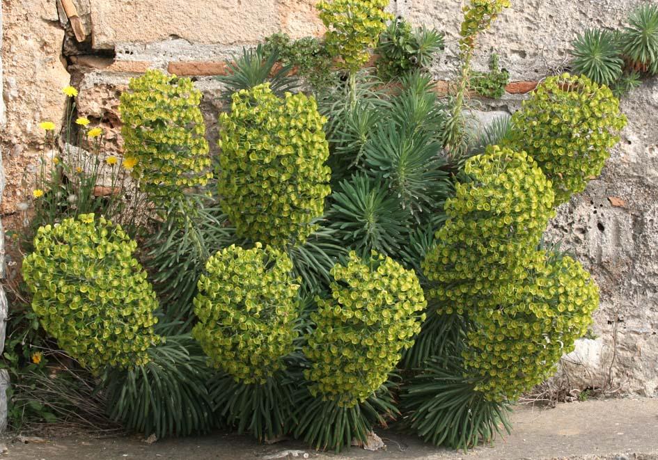 Euphorbia characias - Palisaden-Wolfsmilch - large mediterranean spurge -  - Phrygana