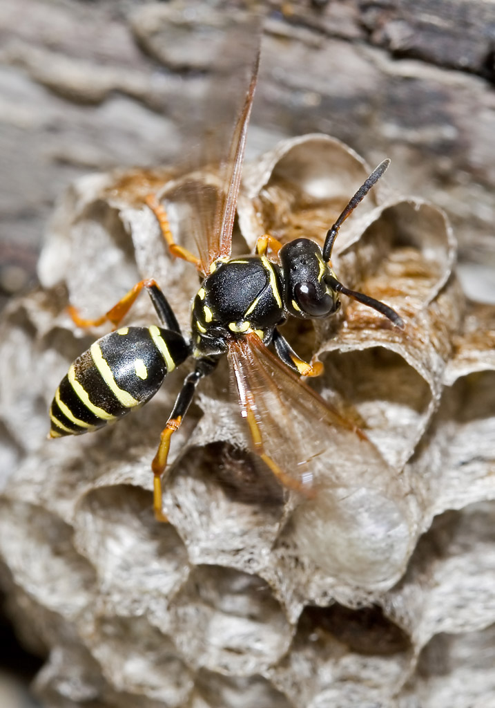 Polistes biglumis - Berg-Feldwespe -  - Vespidae - Faltenwespen - wasps