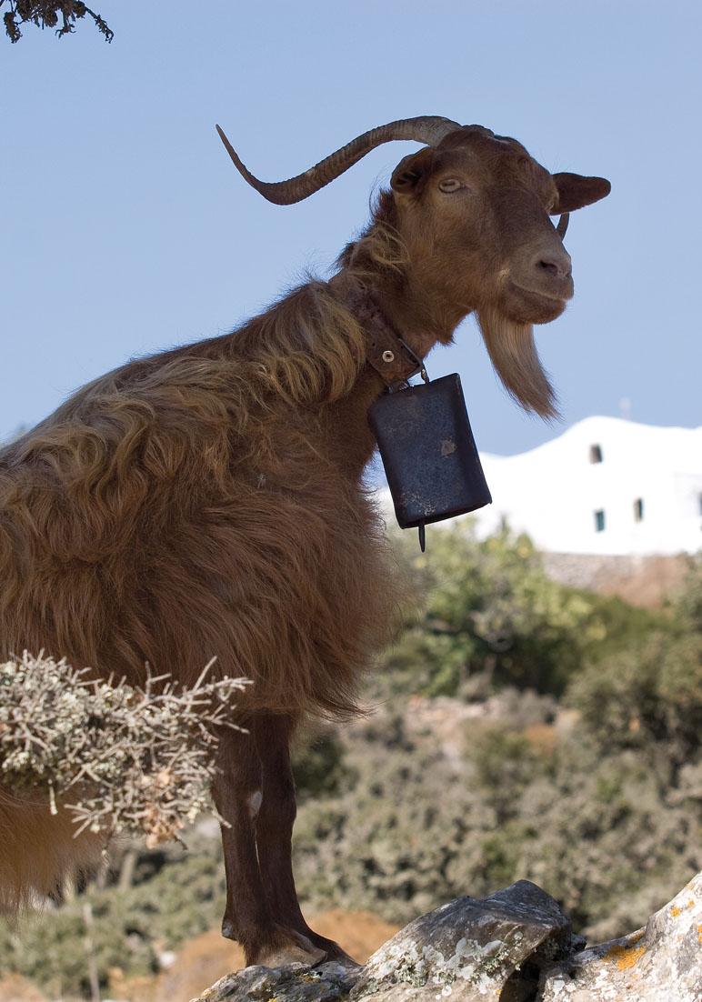 Ziege - Amorgos - Haustiere - domestic animals