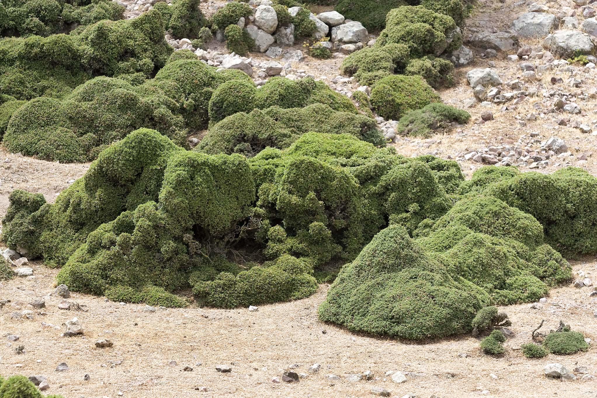 Nisyros: Ziegen als Landschaftsgärtner - Kermeseiche als Bonsai - Haustiere - domestic animals