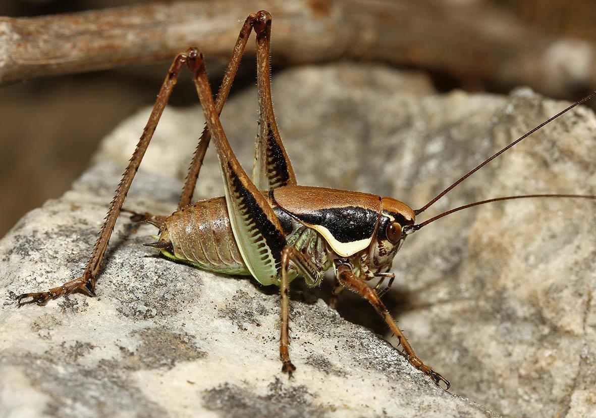Eupholidoptera smyrnensis -  Samos - Ensifera - Tettigonidae - Laubheuschrecken - bush crickets
