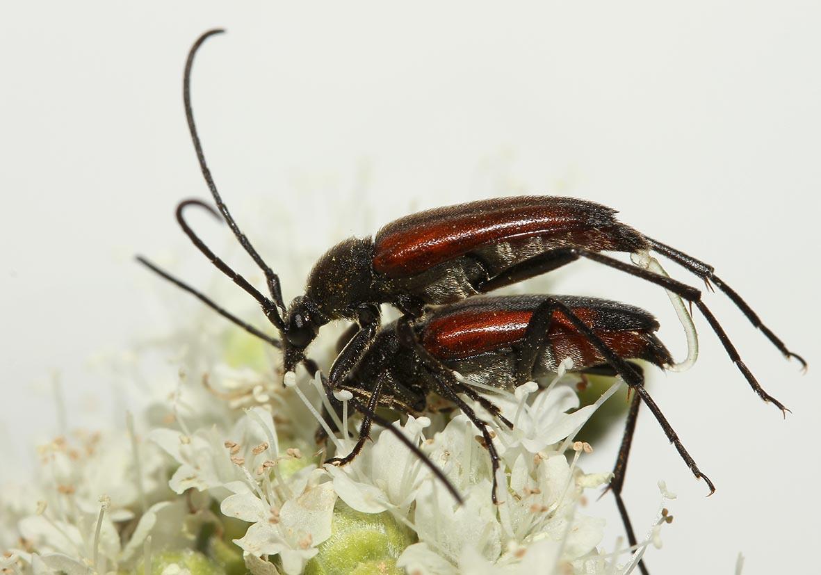 Stenurella melanura - Kleiner Schmalbock - UFam. Lepturinae   -   Samos - Cerambycidae - Bockkäfer - long-horned beetles