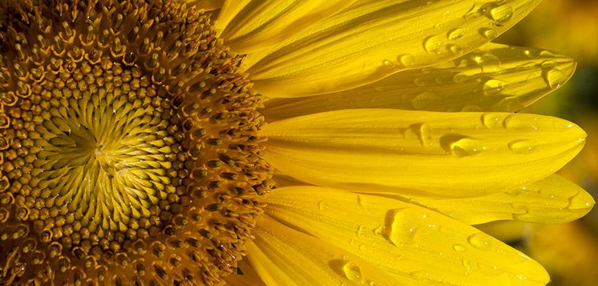 Sonnenblume - Helianthus annuus - Trauttmansdorff -  - Trauttmansdorff - Meran