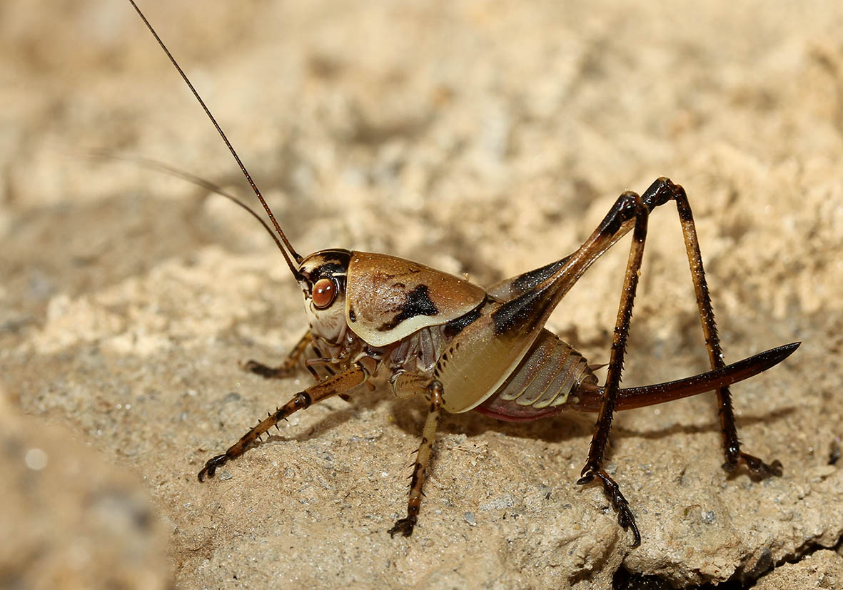 Eupholidoptera prasina -  Samos - Ensifera - Tettigonidae - Laubheuschrecken - bush crickets