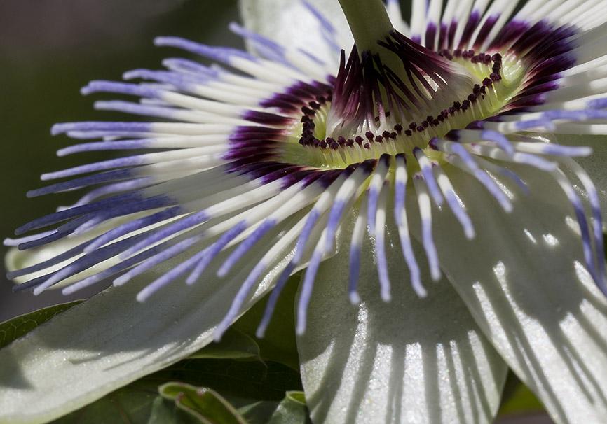 Passiflora caerulea - Passionsblume - Trauttmansdorff -  - Trauttmansdorff - Meran