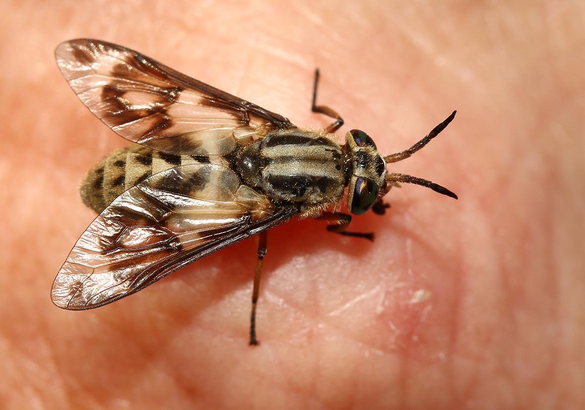Chrysops sp. - Goldaugen-Bremse - Samos - Diptera - Fliegen