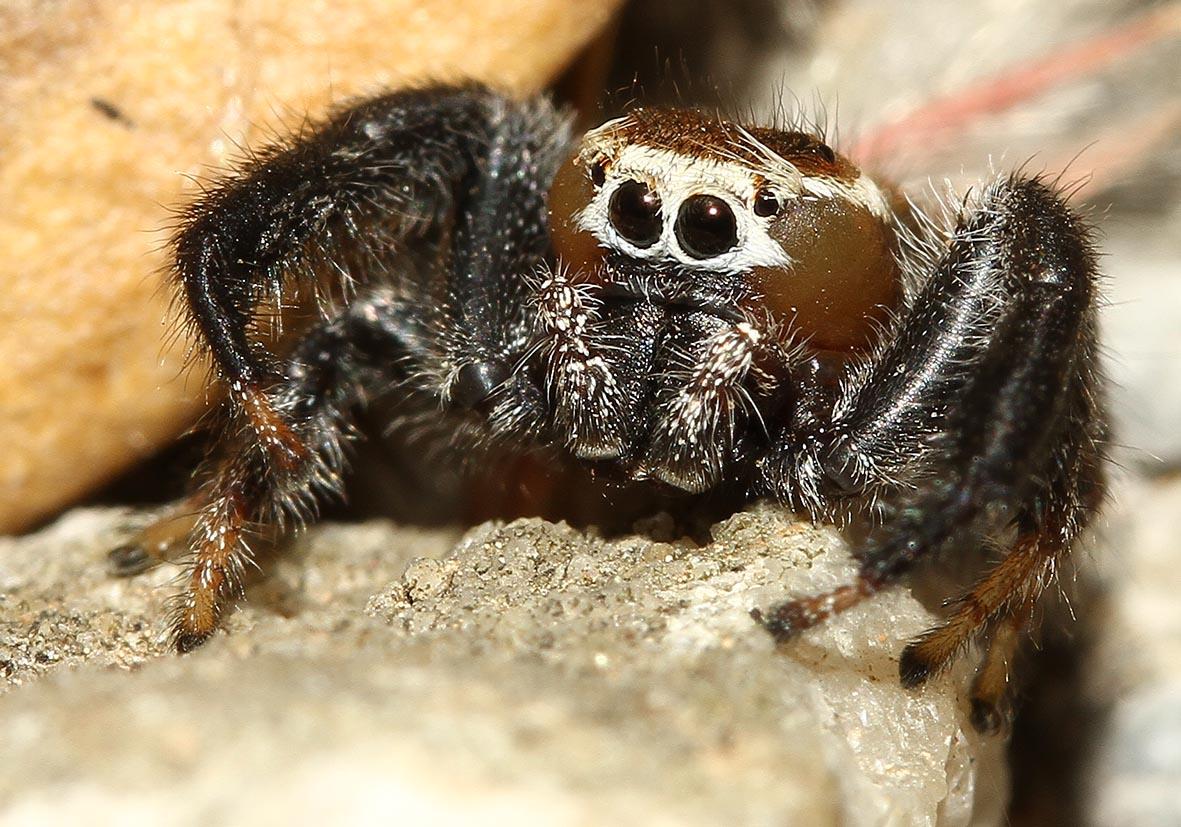 Thyene imperialis - Fam. Salticidae  -  Samos - Araneae - Webspinnen - orb-weaver spiders