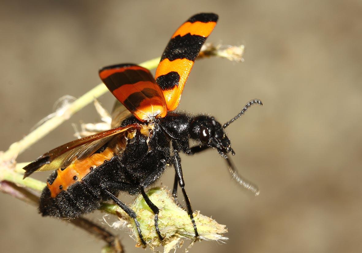 Mylabris variabilis -  - Veränderlicher Ölkäfer - Samos - Meloidae - Ölkäfer - bilster beetles