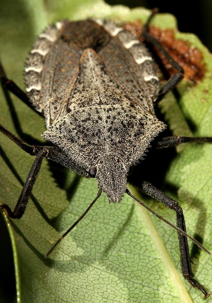 Mustha spinosula - Fam. Pentatomidae  -  Samos - Heteroptera - Wanzen - true bugs