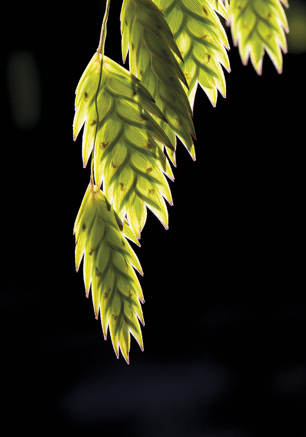 Chasmanthium latifolium - Plattährengras - Trauttmansdorff -  - Trauttmansdorff - Meran