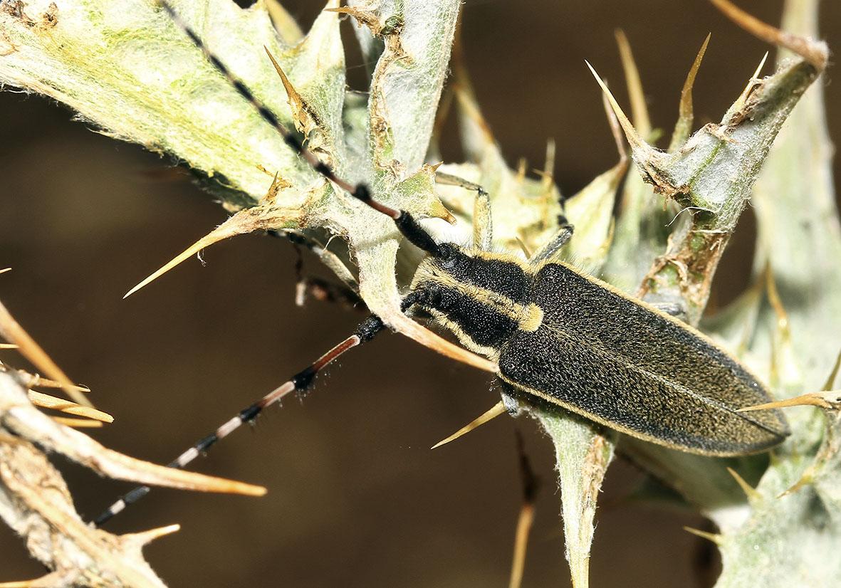 Agapanthia lateralis - UFam. Lamiinae   -  Samos - Cerambycidae - Bockkäfer - long-horned beetles