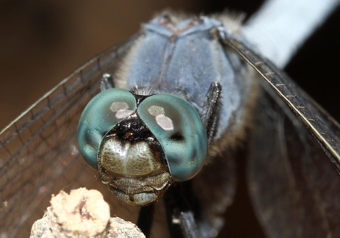 Orthetrum coerulescens - Kleiner Blaupfeil - Fam. Libellulidae  -  Samos - Anisoptera - Großlibellen - dragonflies