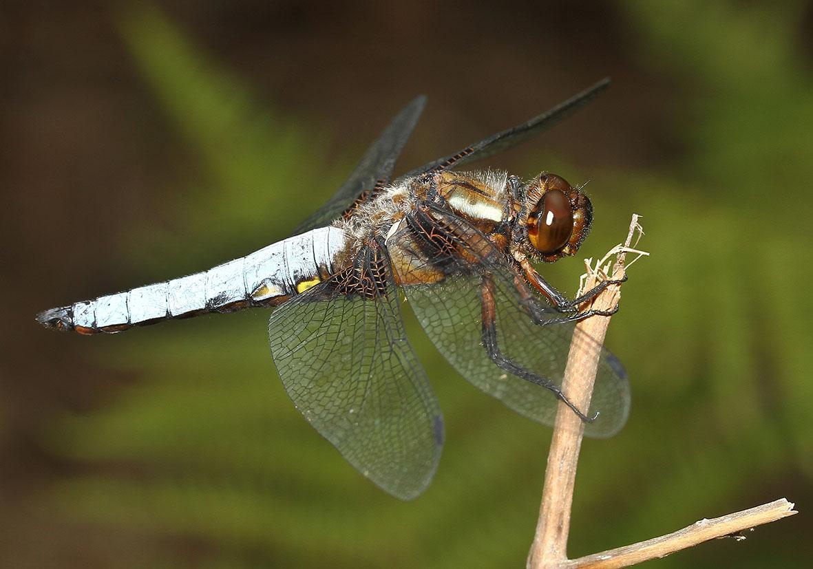 Libellula depressa - Plattbauch - Fam. Libellulidae  -  Ikaria - Anisoptera - Großlibellen - dragonflies
