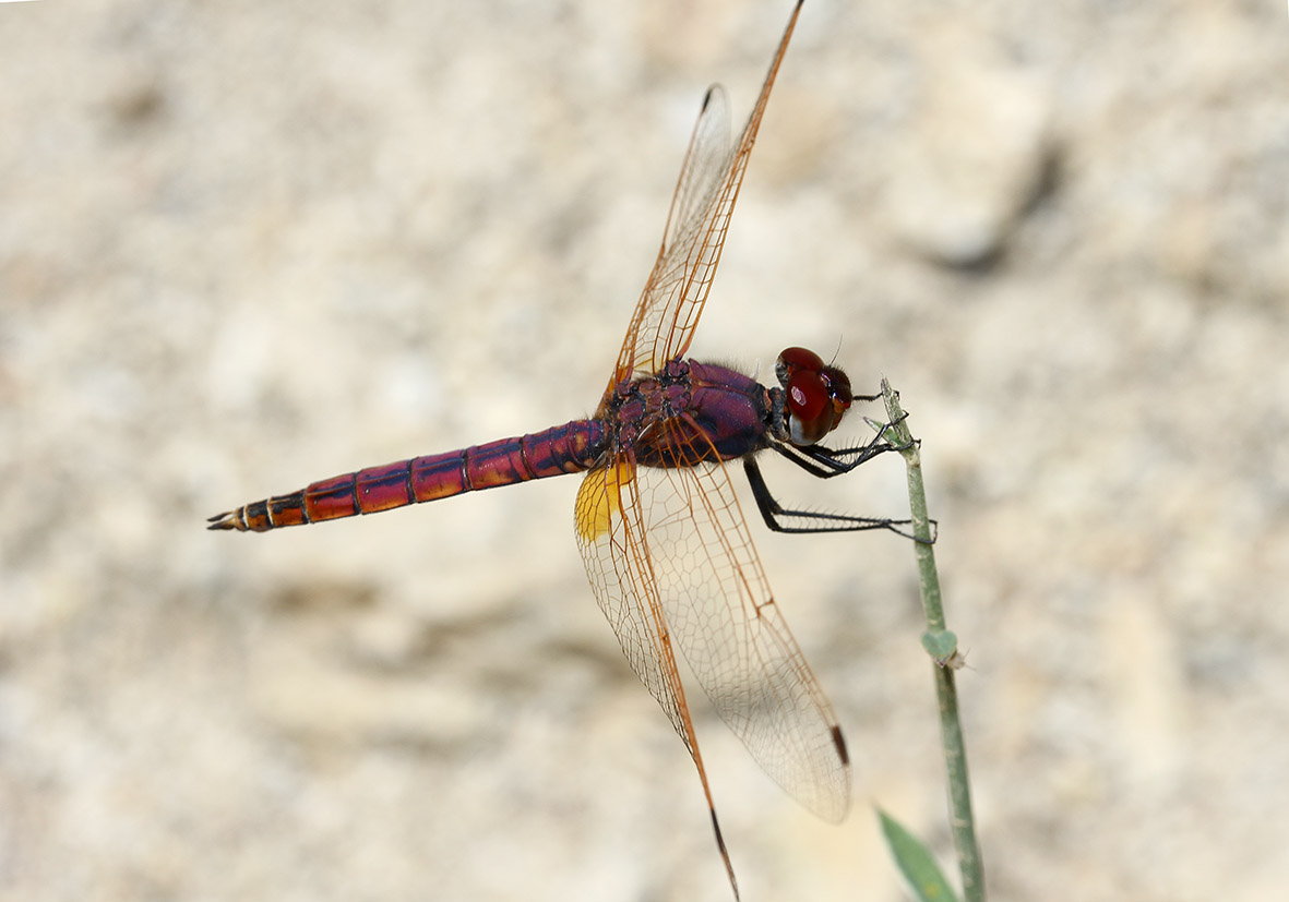 Trithemis annulata - Violetter Sonnenanzeiger - Fam. Libellulidae  -  Ikaria - Anisoptera - Großlibellen - dragonflies