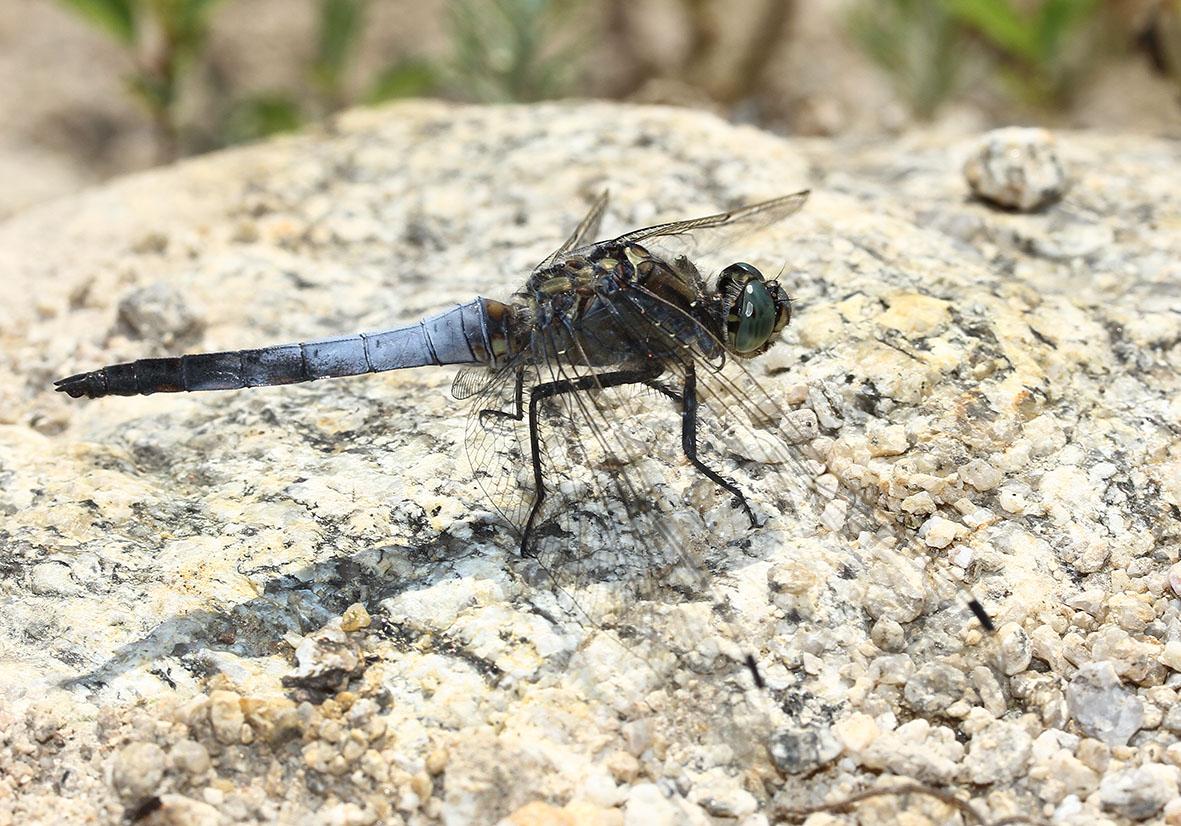 Orthetrum cancellatum - Großer Blaupfeil - Fam. Libellulidae  -  Samos - Anisoptera - Großlibellen - dragonflies