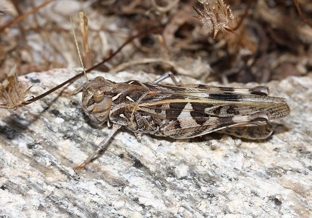 Oedaleus decorus - Kreuzschrecke - Fam.  Acrididae/Oedipodinae  -  Ikaria - Caelifera - Kurzfühlerschrecken - grasshoppers