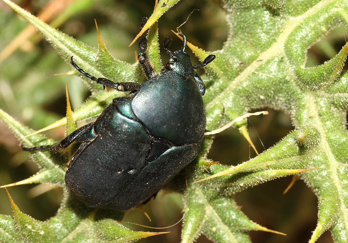 Protaetia vidua - Fam. Cetoniidae  -   Samos - Scarabaeidea - Blatthornkäfer - scarab beetles