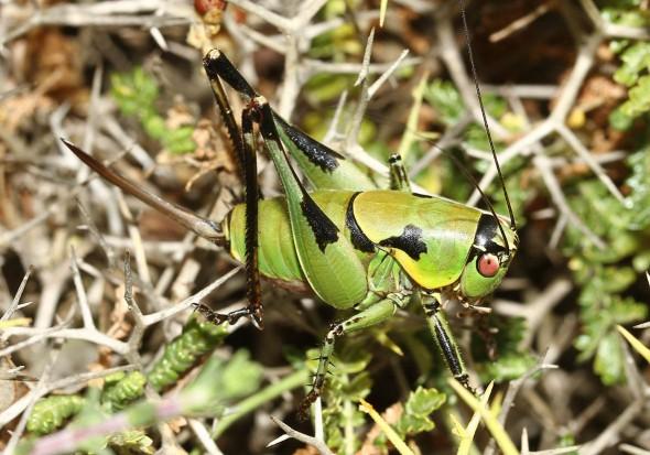 Eupholidoptera icariensis - Ikaria-Endemit - Ensifera - Tettigonidae - Laubheuschrecken - bush crickets