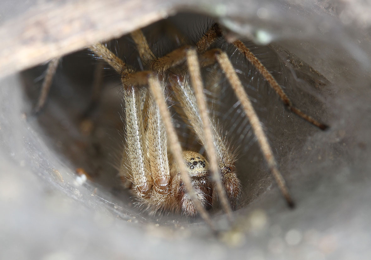 Agelena orientalis - Fam. Agelenidae  -   Samos - Araneae - Webspinnen - orb-weaver spiders