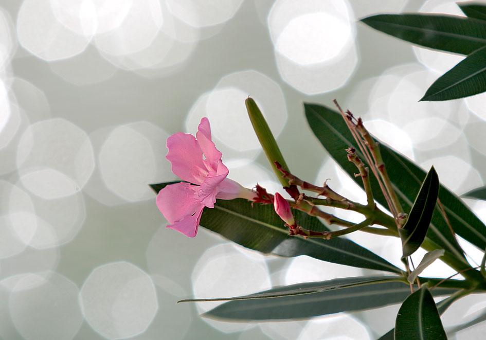 Nerium oleander - Oleander - oleander -  - Fluss - River