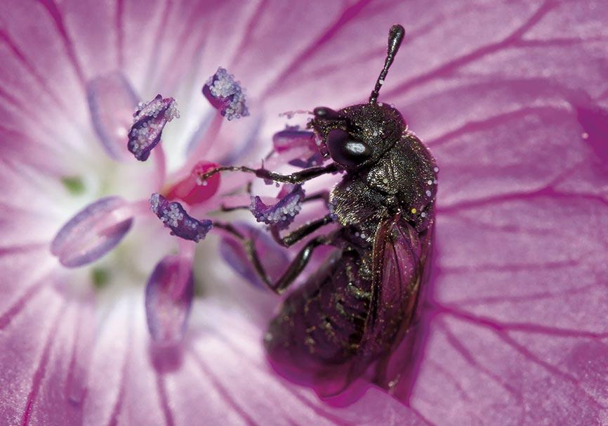 Corynis obscura  - Fam. Keulhornblattwespen - Cimbicidae - Symphyta - Pflanzenwespen - sawflies