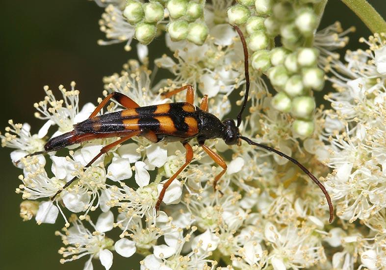 Strangalia attenuata - UFam. Lepturinae - Cerambycidae - Bockkäfer - long-horned beetles
