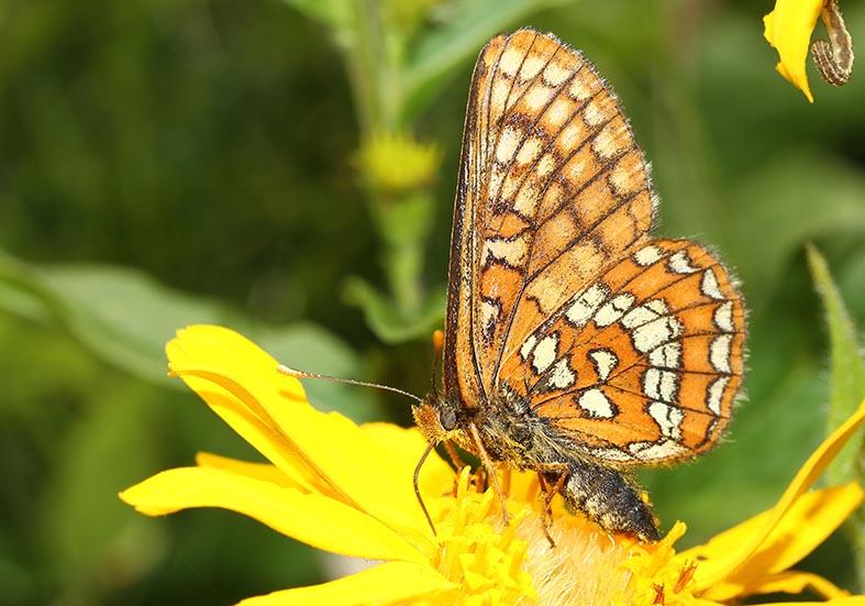 Euphydryas intermedia - Scheckenfalter -  - Nymphalidae - Edelfalter - brush-footed butterflies