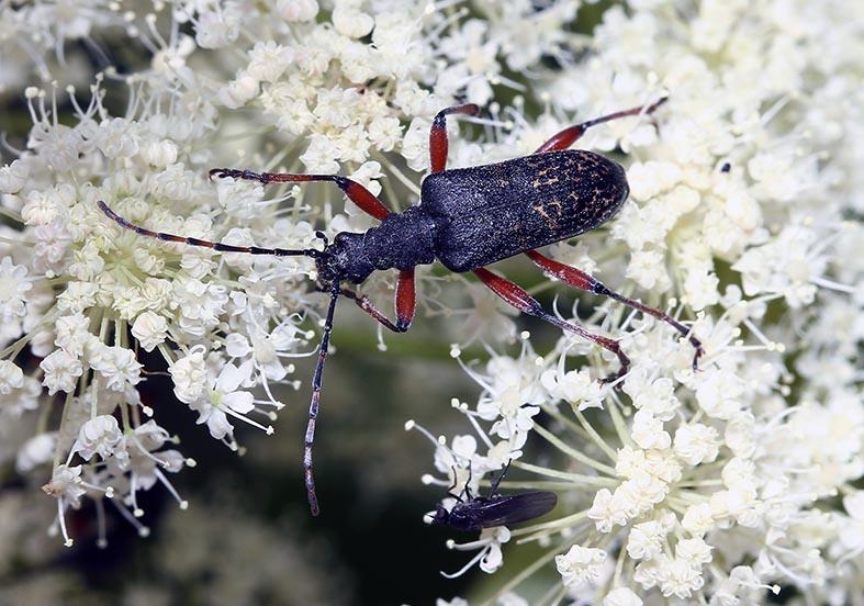 Evodinus clathratus - Fleckenbock - UFam. Lepturinae - Cerambycidae - Bockkäfer - long-horned beetles