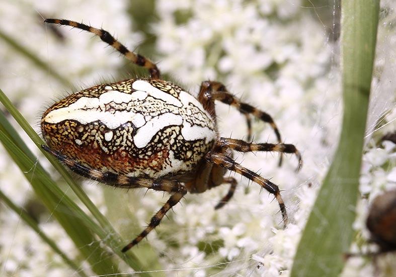 Aculepeira ceropegia - Eichenblatt Radspinne - Fam.  Araneidae - Radnetzspinnen - Araneae - Webspinnen - orb-weaver spiders