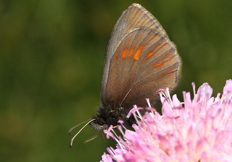 Erebia manto - Gelbgefleckter Mohrenfalter -  - Nymphalidae - Edelfalter - brush-footed butterflies