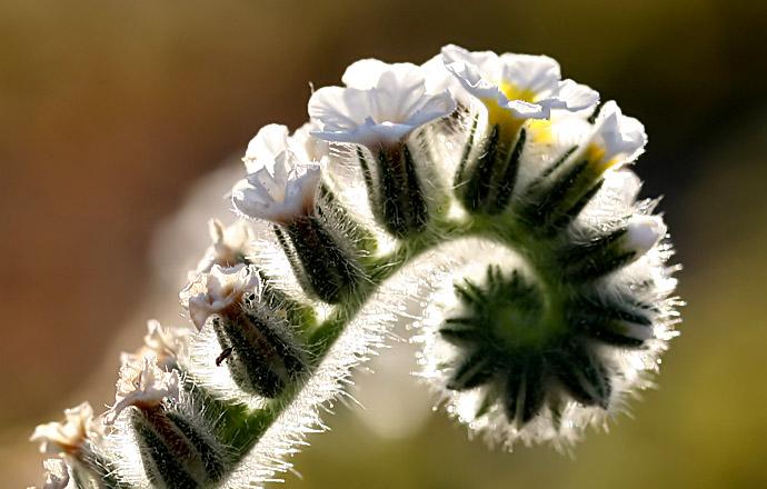 Sonnenwende - Heliotropium hirsutissimum -  - Blüten - Flowers