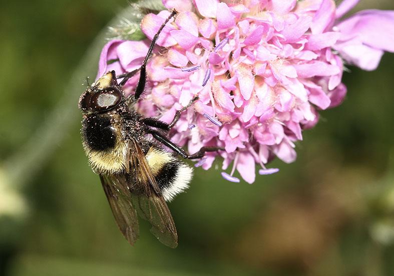 Volucella bombylans - Pelzige Hummelschwebfliege - Fam. Syrphidae - Schwebfliegen - Brachycera (Fliegenartige) - Aschiza