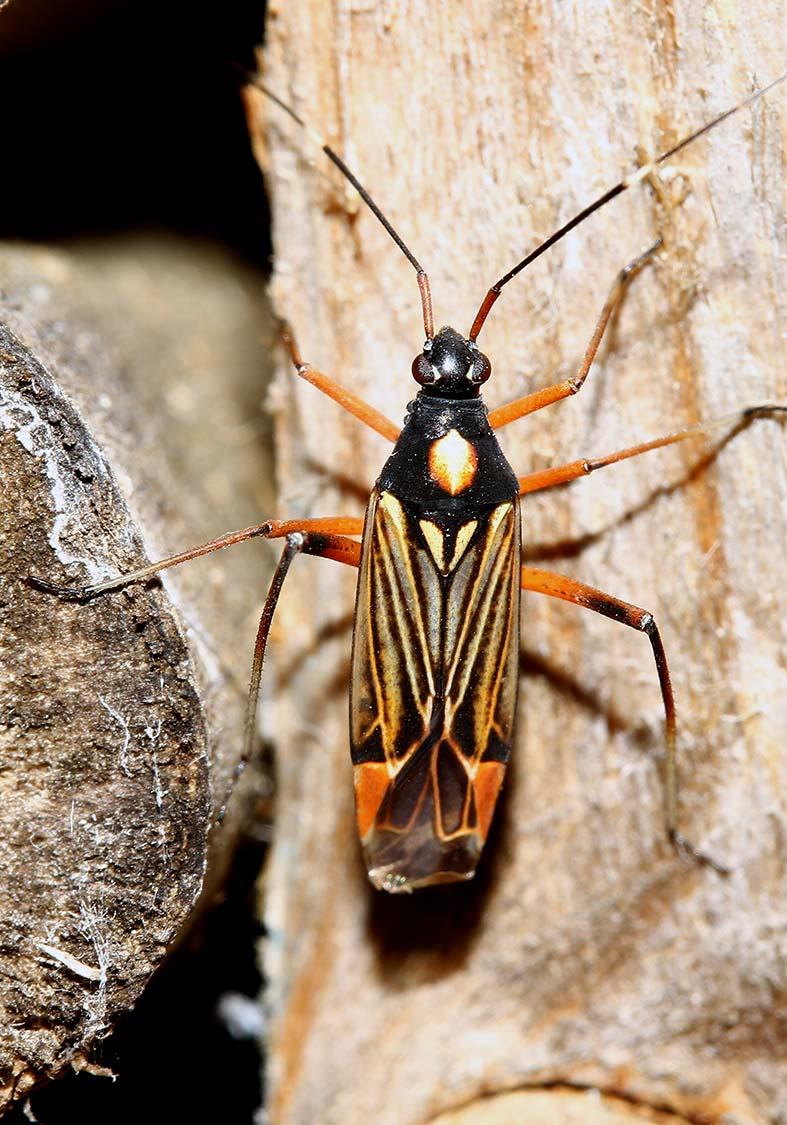 Miris striatus-  Prachtwanze - Fam. Miridae (Blindwanzen) - Heteroptera - Wanzen - true bugs