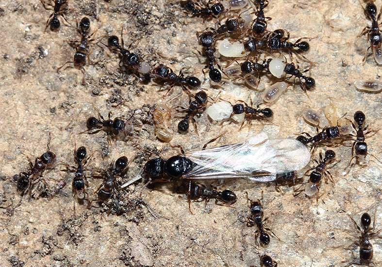 Tetramonium sp. - Rasenameise -  - Formicidae - Ameisen - ants