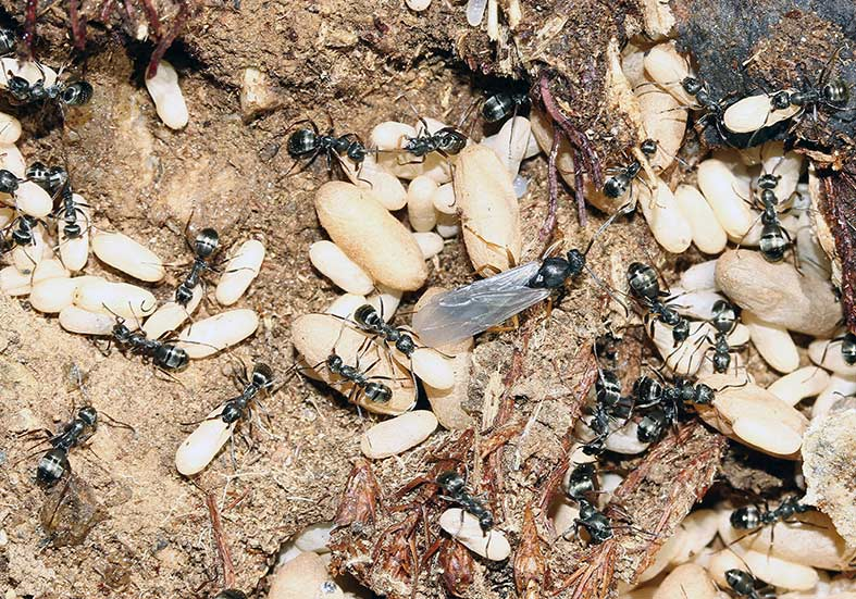 Formica-fusca - Schwarze-Sklavenameise -  - Formicidae - Ameisen - ants