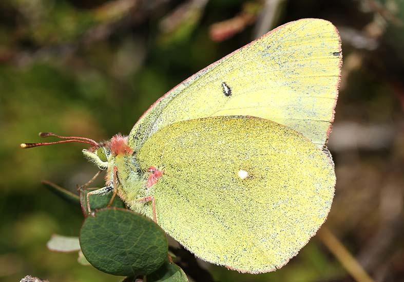 Colias palaeno - Hochmoorgelbling -  - Pieridae - Weißlinge - whites