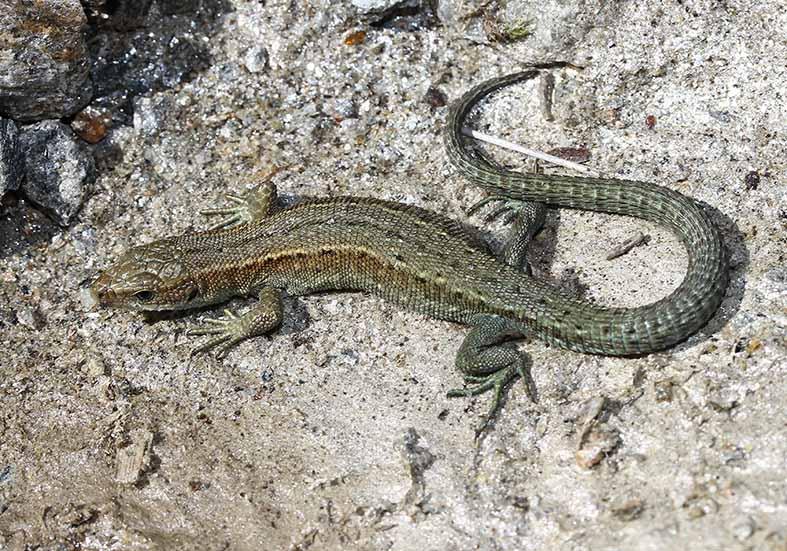 Zootoca vivipara - Bergeidechse -  - Lacertilia - Echsen - lizards