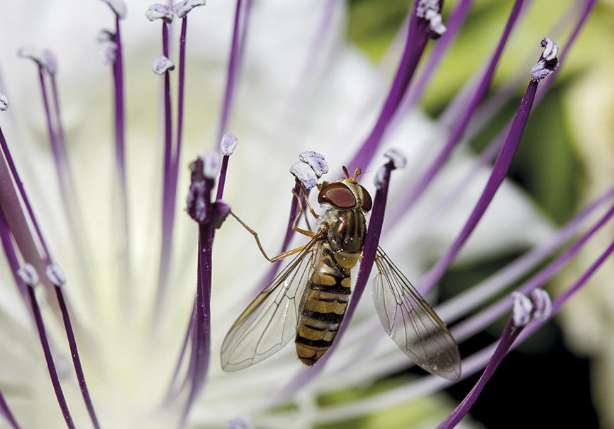 Episyrphus balteatus - Capparis spinosa - Kapernblüte - Trauttmansdorff -  - Trauttmansdorff - Meran