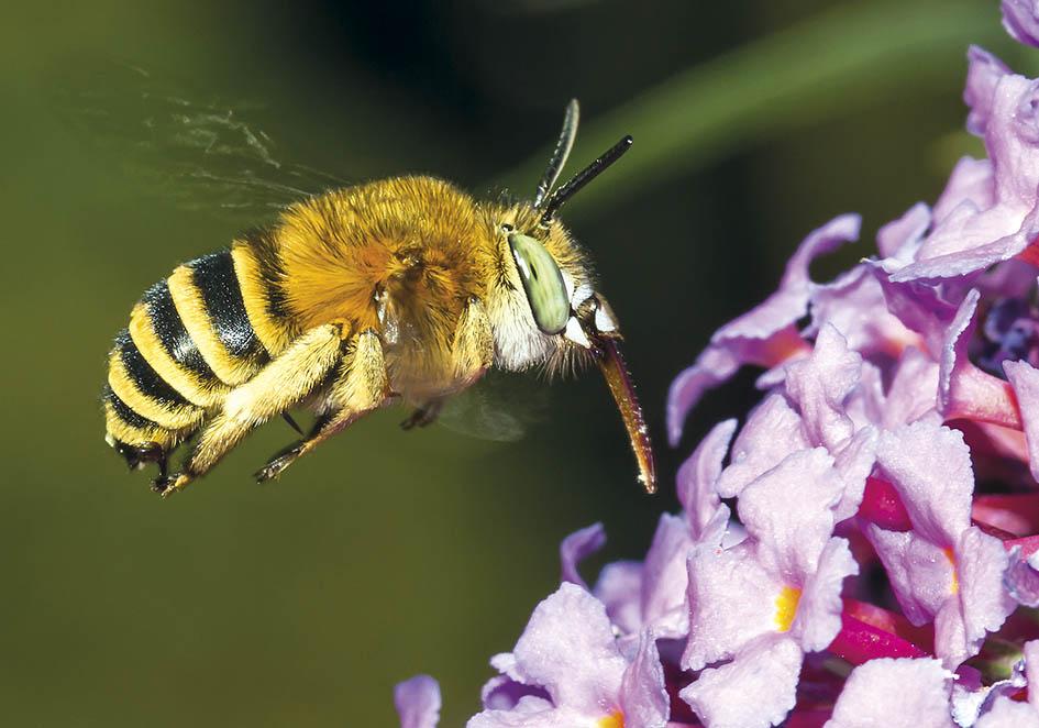 Anthophora garrula (male)   - Buddleja davidii - Apidae - Apinae - Bienen - Bees