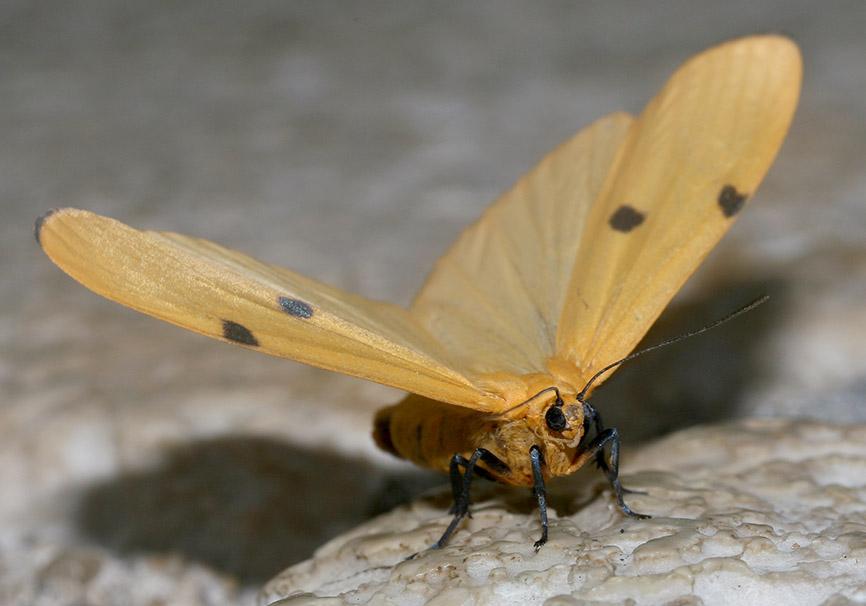 Lithosia quadra  -  Vierpunkt-Flechtenbär - Fam. Erebidae/Arctiinae    -  Kroatien - Nachtfalter - moths
