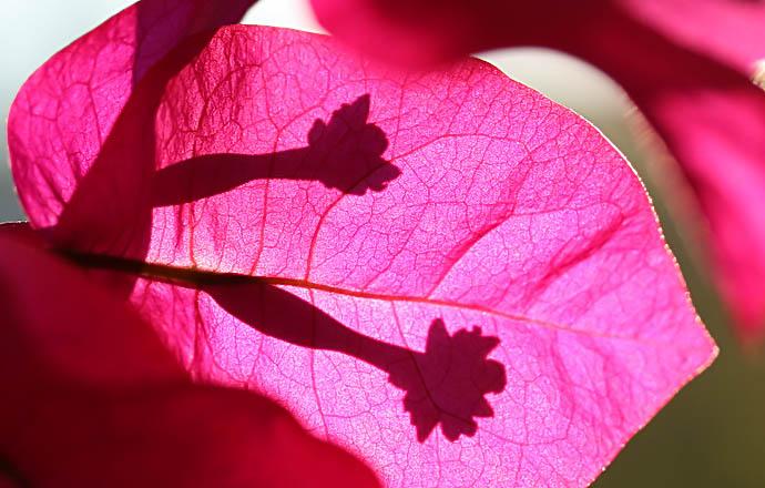 Bougainvillea -  - Blüten - Flowers