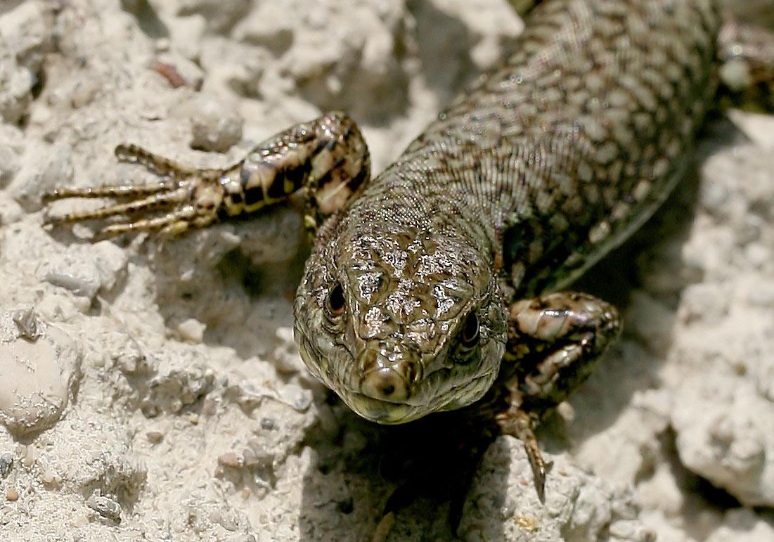Podarcis muralis - Mauereidechse -  - Lacertilia - Echsen - lizards