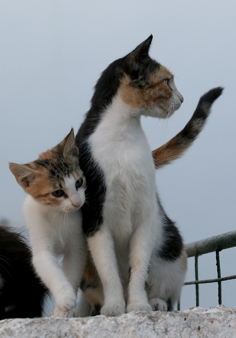 Griechische Katzen - Milos - Haustiere - domestic animals