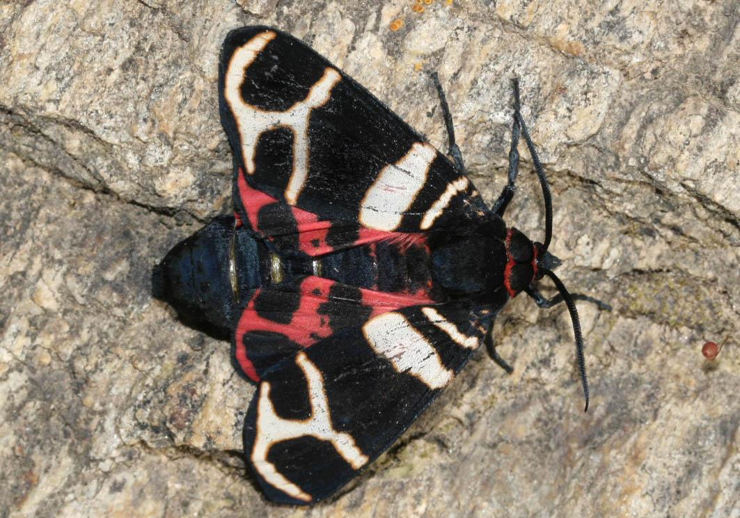 Arctia festiva - Englischer Bär - Fam. Erebidae /Arctiinae   -  Naxos - Nachtfalter - moths