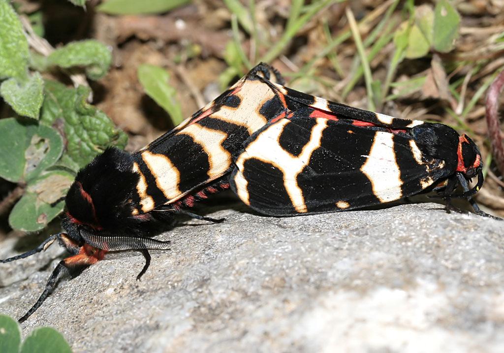 Arctia festiva - Englischer Bär - Fam. Erebidae/Arctiinae    -  Naxos - Nachtfalter - moths
