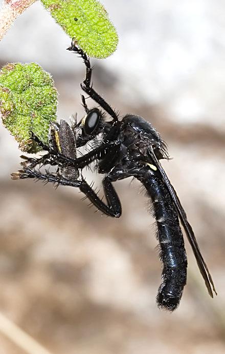 Asilidae - Raubfliege - robber fly - Kroatien - Diptera - Fliegen