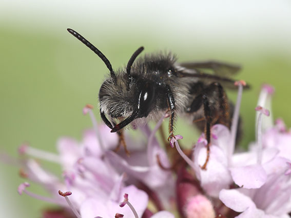 Andrena denticulata - Männchen male - Apiformes - Andrenidae - Bienen - bees
