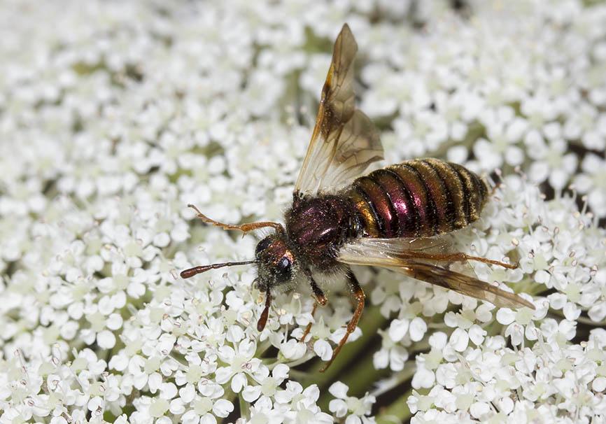 Abia aurulenta - Keulenblattwespe - Fam. Keulhornblattwespen - Cimbicidae - Symphyta - Pflanzenwespen - sawflies